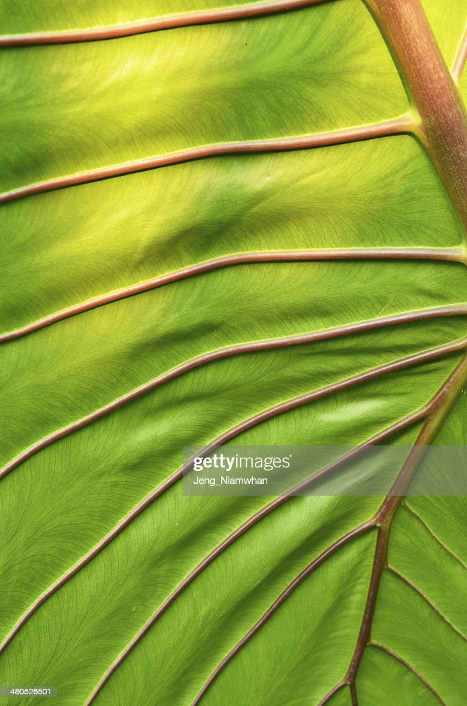 big green leaf : Photo