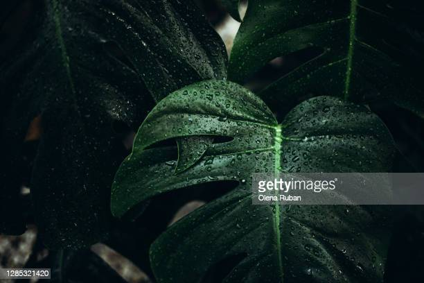 big green monstera leaves with dew drops - lush stock pictures, royalty-free photos & images