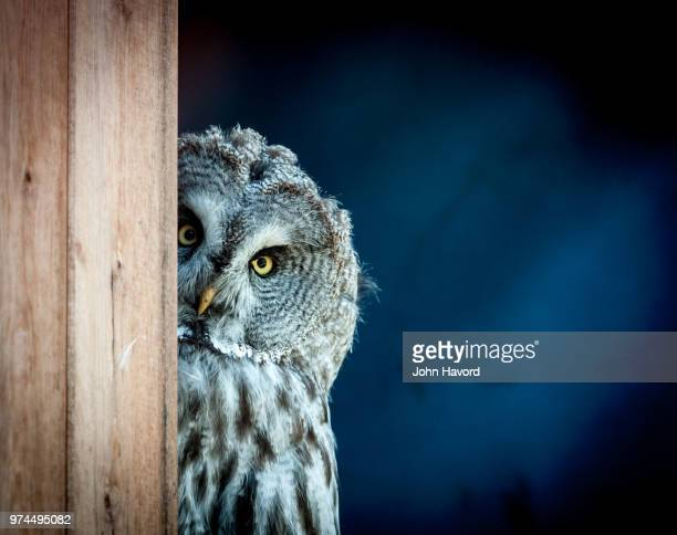 big grey owl peeking around corner, letterkenny, ireland - owl stock pictures, royalty-free photos & images