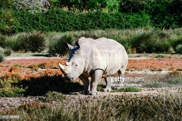 Big grey rhinoceros in safari park, Sigean, France