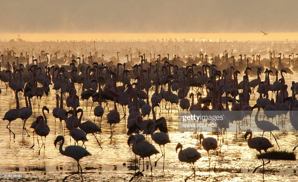 Big group flamingos on the lake. Kenya. : Stock Photo