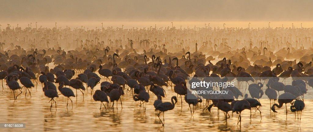 Big group flamingos on the lake. Kenya. : Photo