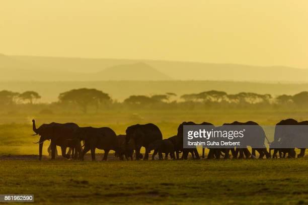 Big group of elephants are walking at Amboseli plains at the sunrise