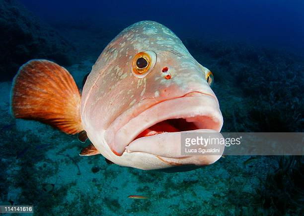 big grouper - big fish stock pictures, royalty-free photos & images