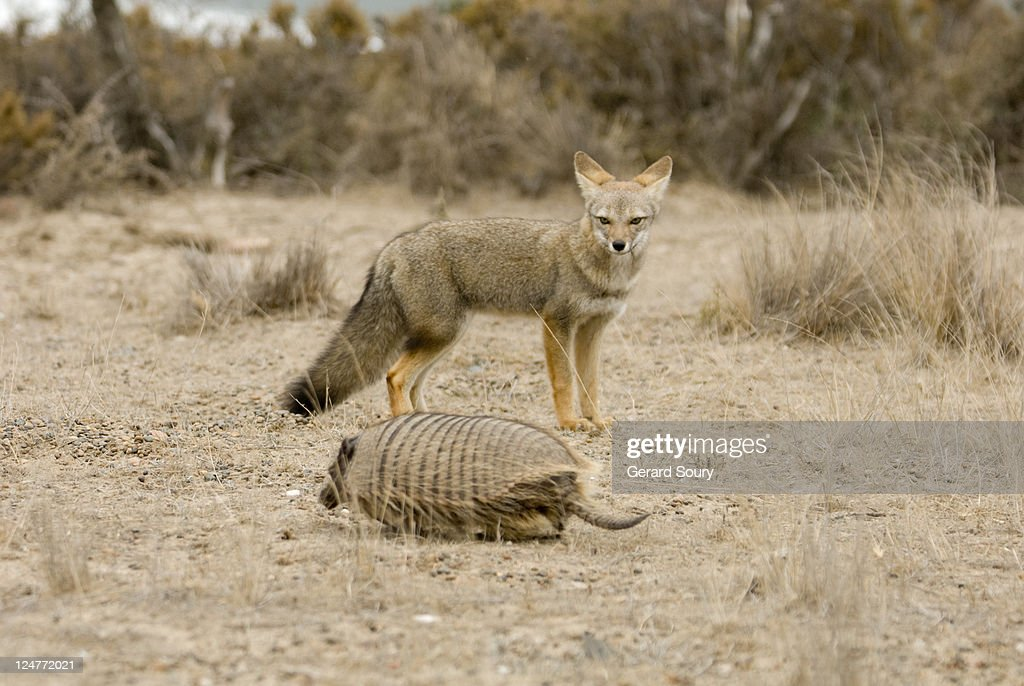 Big Hairy Armadillo (Chaetophractus villosus) being watched by South American grey fox (Pseudalopex griseus), Patagonia, Argentina : Stock Photo