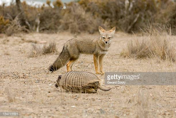 big hairy armadillo (chaetophractus villosus) being watched by south american grey fox (pseudalopex griseus), patagonia, argentina - gray fox stock photos and pictures