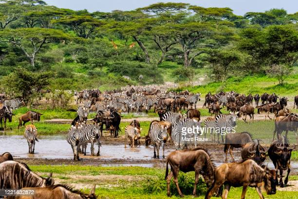 big herd of wildebeests and zebras, seen during the big migration in the ndutu area, tanzania - ngorongoro conservation area stock pictures, royalty-free photos & images