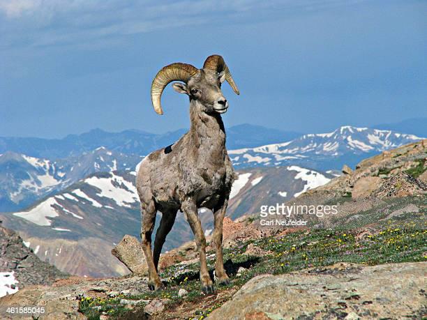 Big horn ram in Colorado Rocky Mountains