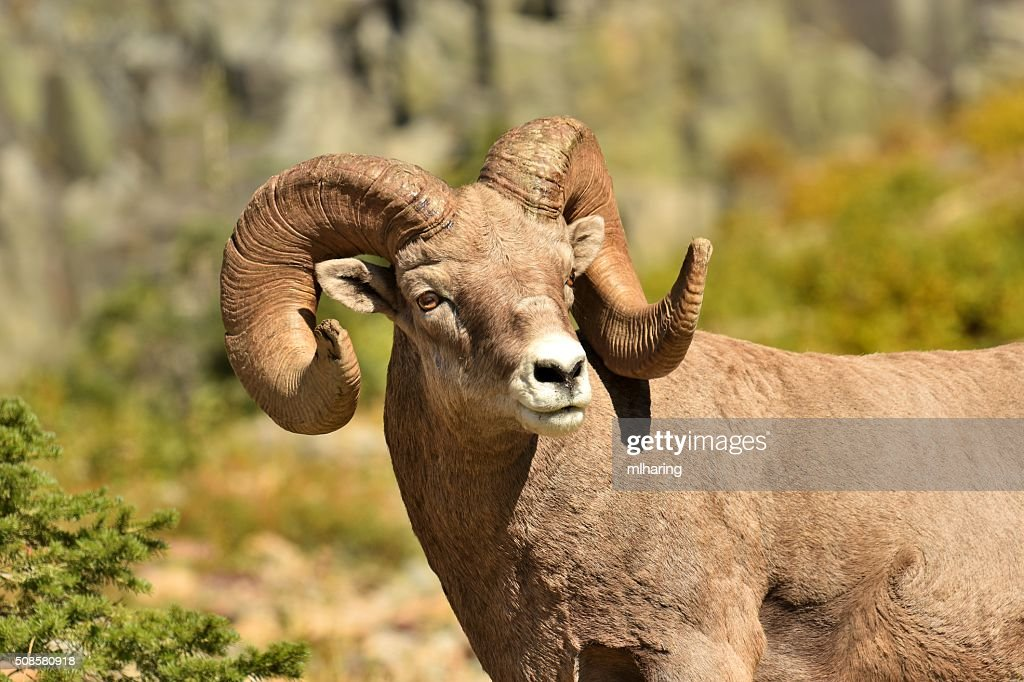 Big Horn Ram : Stock Photo