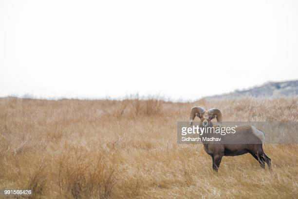 big horn ram - file:bighorn,_grand_canyon.jpg stock pictures, royalty-free photos & images