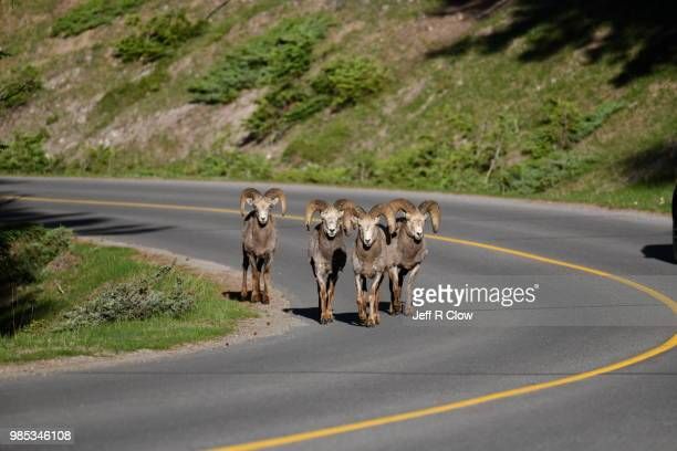 big horn rams standing on the road together in banff - file:bighorn,_grand_canyon.jpg stock pictures, royalty-free photos & images