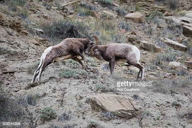 Big Horn Sheep clash in a battle for dominance, Utah, USA