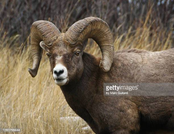 big horn sheep (ovis canadensis) jasper national park, alberta, canada - animals in the wild stock pictures, royalty-free photos & images