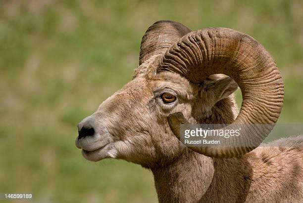 big horn sheep ram portrait - ram animal stock photos and pictures
