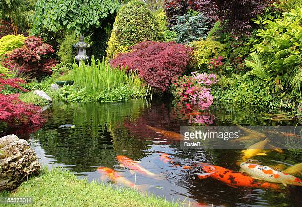a big koi pong with orange fish and greenery - japanese garden stock photos and pictures