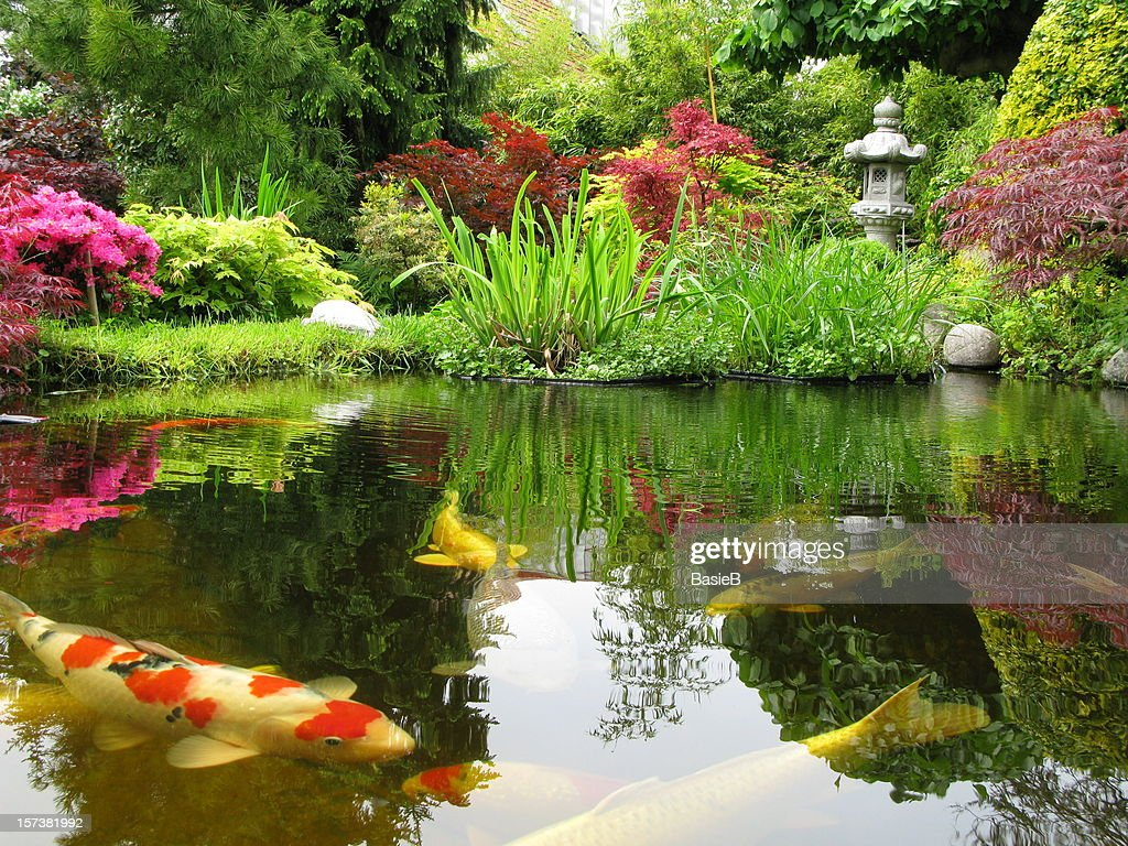 Big Kois in the pond : Stock Photo