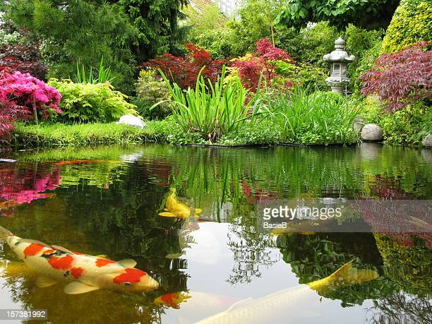 big kois in the pond - japanese garden stock photos and pictures