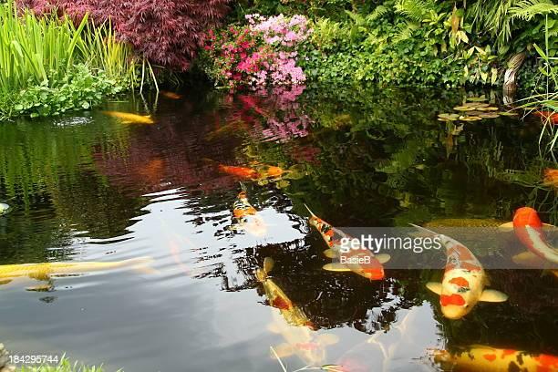 ビッグ Kois の池