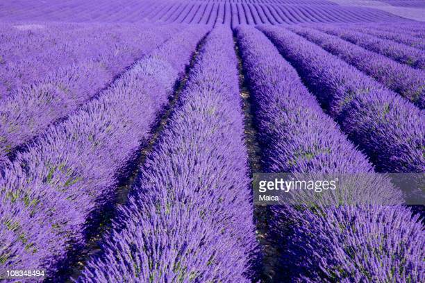 Big Lavender field at Provence