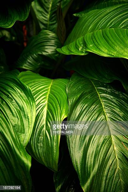 big leaves