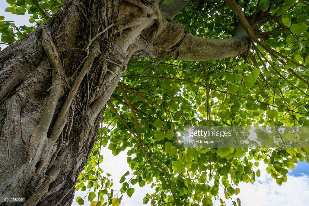 A big linden tree : ストックフォト