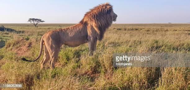 león grande en busca de presas - especies amenazadas fotografías e imágenes de stock