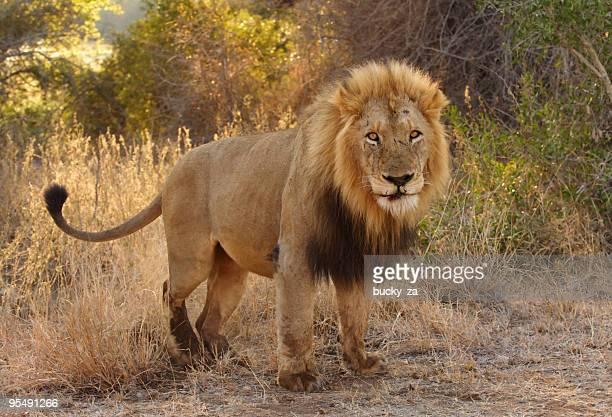 Big lion male