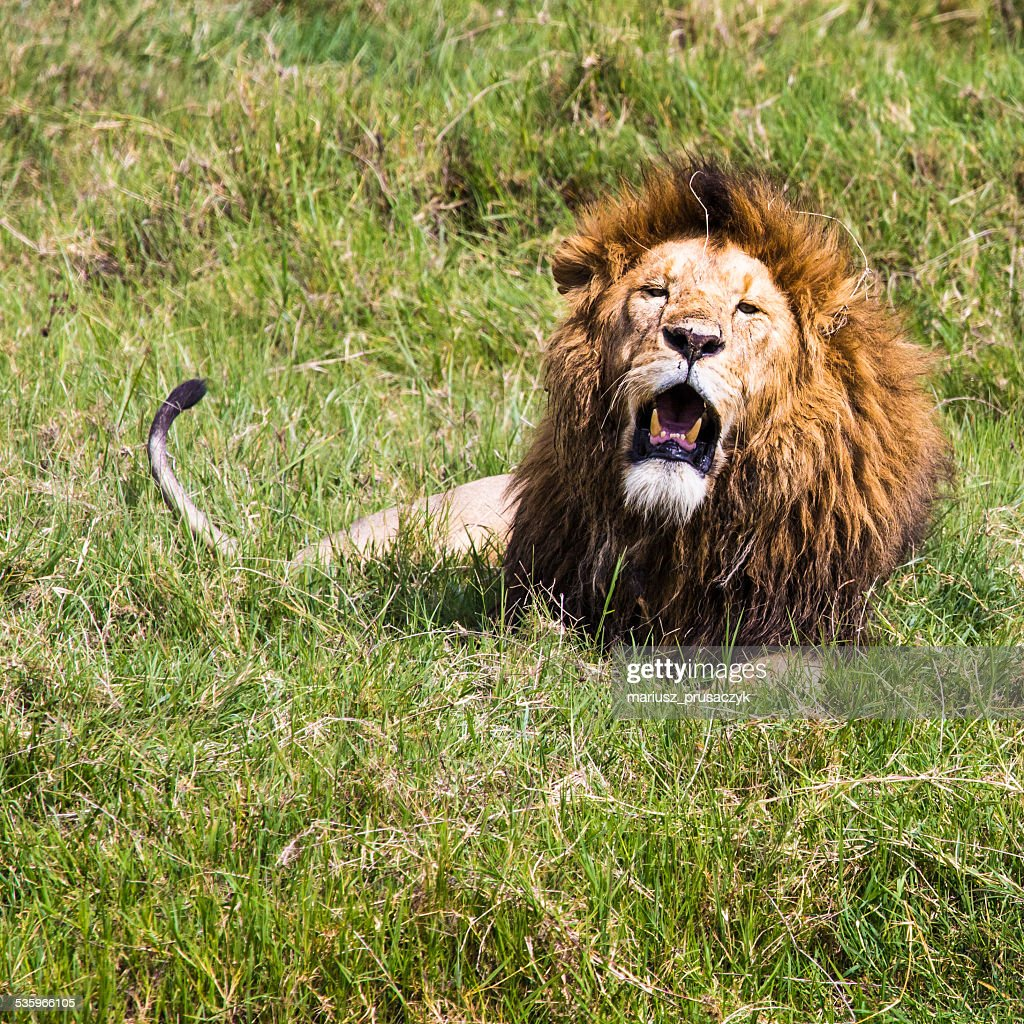 Big Lion showing his dangerous teeth in Masai Mara, Kenya. : Stock Photo