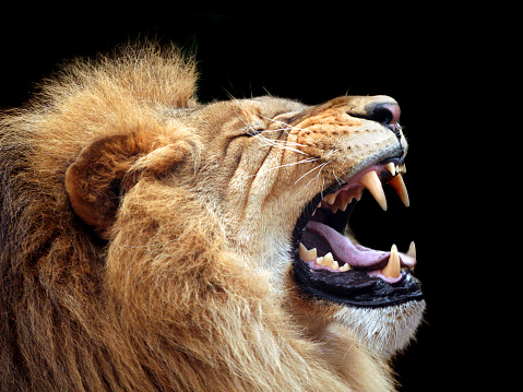 Big lion showing who is the king (focus on teeth) 97992631