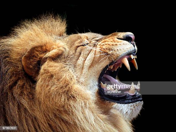 big lion showing who is the king (focus on teeth) - lion feline stock pictures, royalty-free photos & images