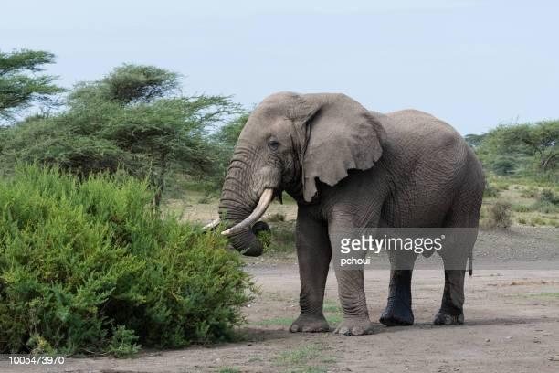 Stor manlig elefant äta, Afrika