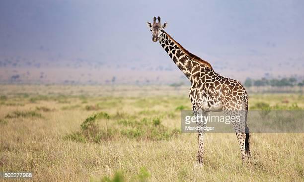 Big male giraffe