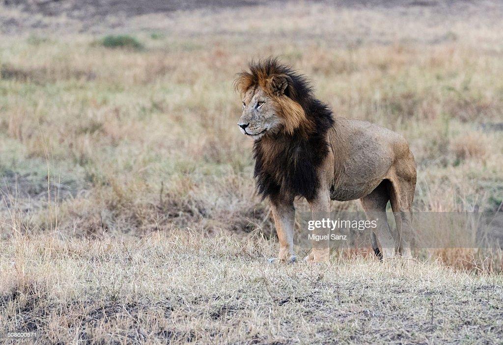 Big male lion : Foto de stock