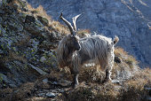 Big male Orobian goat
