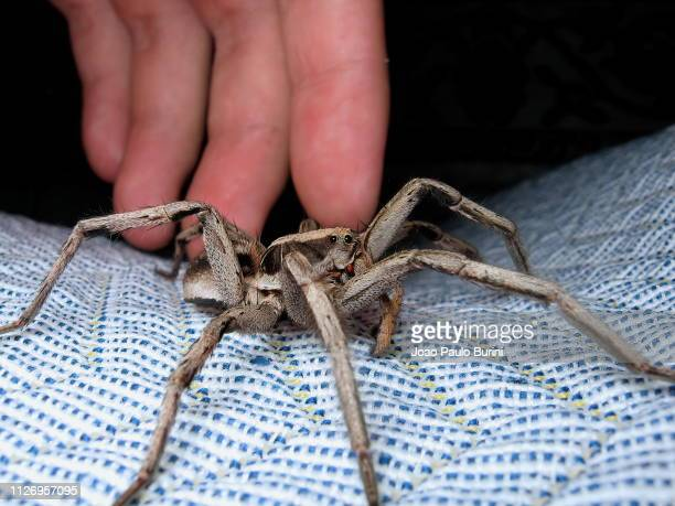 big male wolf spider close to a human hand - big bad wolf photos et images de collection