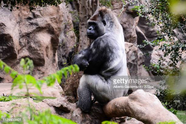 big mammal gray adult strong gorilla - big bums stock pictures, royalty-free photos & images
