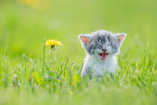 Big Meow 826557526