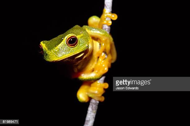 A dainty green tree frog climbing on a thin twig with orange feet.