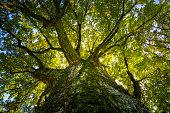 big oak in the sunlight