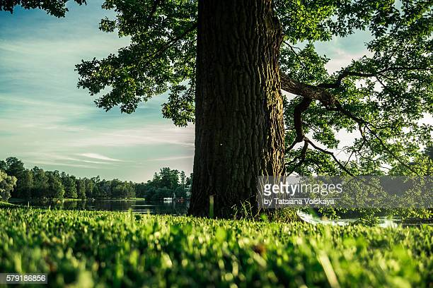 Big oak tree with green leaves, pure lake and green spring meadow, Russian summer