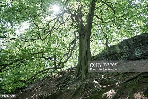 A big old Beech tree at Alderley edge, Cheshire