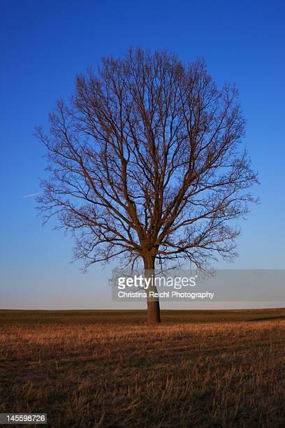 big old oak tree without leaves in blue sky - christina grosse stock-fotos und bilder