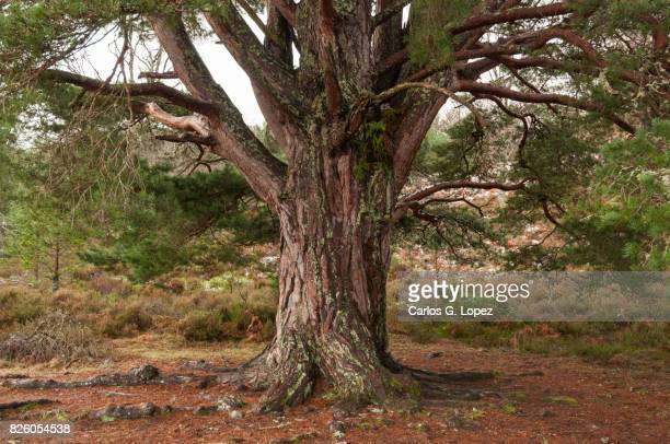 big old tree in the forest - tree trunk stock pictures, royalty-free photos & images