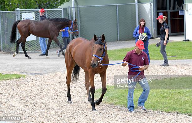Big Orange arrives at the Werribee Quarantine facility followed by Arod on October 15 2016 in Melbourne Australia