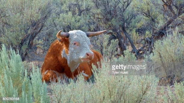 big orange steer wild west 1 cow steens mountain near malhuer wildlife refuge 1 - steens mountain stock pictures, royalty-free photos & images