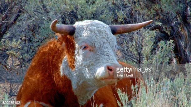 big orange steer wild west 2 cow steens mountain near malhuer wildlife refuge 2 - steens mountain stock pictures, royalty-free photos & images