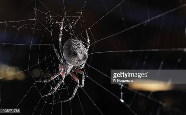 Big orb weaver spider on its web at sunset