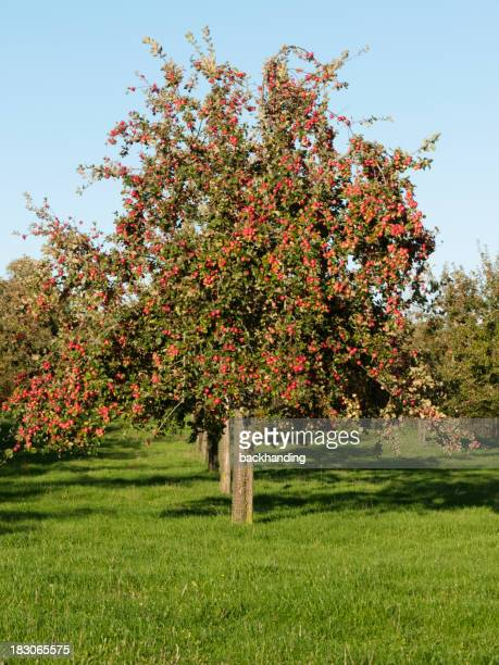 Big orchard of apple trees on a sunny day