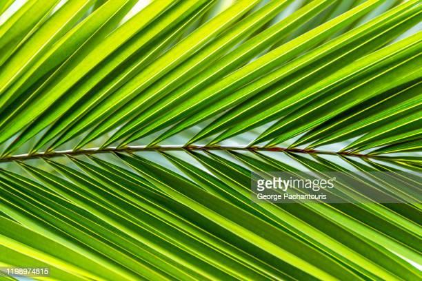 big palm leaf - 異国情緒 ストックフォトと画像