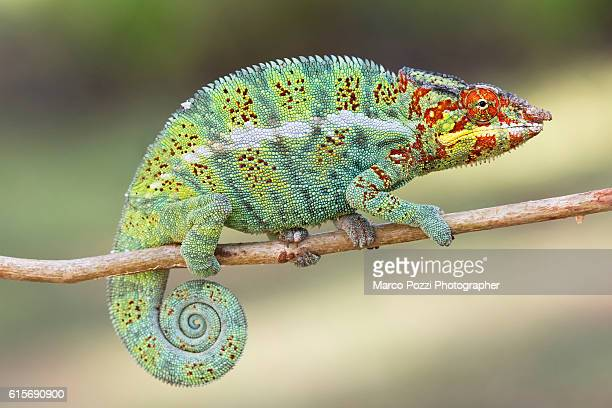 big panther chameleon - east african chameleon stock pictures, royalty-free photos & images